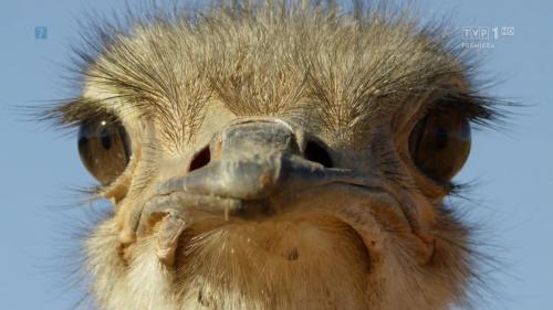 Struś - życie w biegu / Ostrich - a Life on the Run (2016) PL.1080p.WEB-DL.x264-nbd / Lektor PL