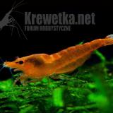 orange-sakura-3